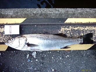 Bass (fish) - Lateolabrax japonicus