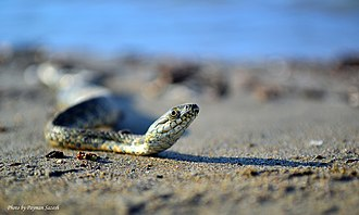 Sea snake - Sea Snake From Caspian Sea - Photographed in North of Iran