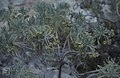 Sea lavender. Mallatonia gnaphalodes. Inagua (27093773579).jpg