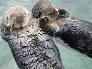 To keep from drifting apart, sea otters may sleep holding paws. Note the high buoyancy of the animals' bodies.