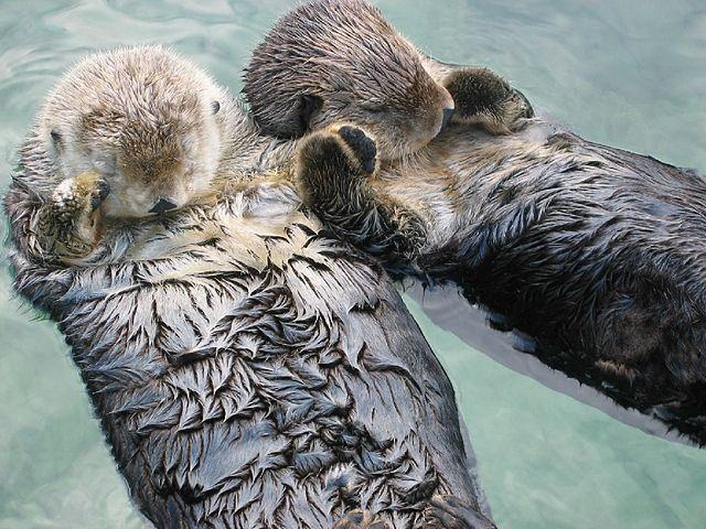 Image result for otter holding hands