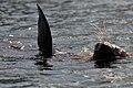 Seal (23759010323).jpg
