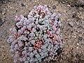 Sedum dasyphyllum 02.jpg