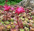 Sedum spurium Purpurteppich 1.jpg