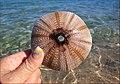 Seeigelskelett im Roten Meer. Eg.2010 3273BE.jpg