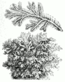 Selaginella martensii.png