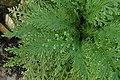 Selaginella pallescens kz03.jpg
