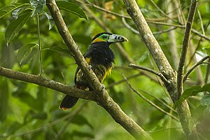 Toucan - Spot-billed toucanets have smaller bills than Ramphastos toucans