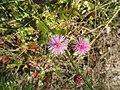 Sensitive Brier (Mimosa quadrivalvis) (43865351372).jpg