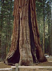 Sequoiadendron giganteum 3.jpg