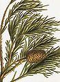 Sequoiadendron giganteum RHS.jpeg