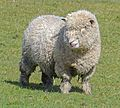 Sheep (26406402246).jpg