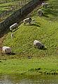 Sheep along the river Bela - geograph.org.uk - 920871.jpg