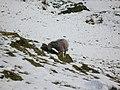 Sheep grazing - geograph.org.uk - 744368.jpg
