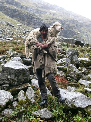 A shepherd and his sheep on the way to Hampta ...