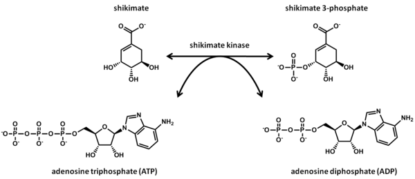 reaction catalyzed by shikimate kinase