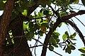 Sicalis flaveola (30696720505).jpg