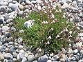 Silene uniflora01.jpg