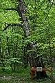 Skulyn Kovelskyi Volynska-Nechymne nature reserve-Kos-Anatolskyi oak.jpg