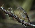 Slaty-blue Flycatcher (Female).jpg