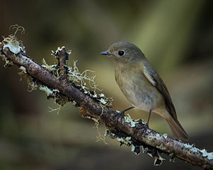 Slaty-blue flycatcher - Female