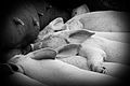 Sleeping piglets (4661216366).jpg