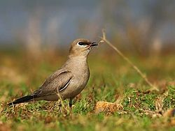 definition of pratincole