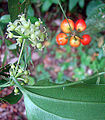 Smilax vanilliodora, flowers and fruit (9729035510).jpg