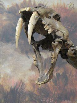 Tigre à dents de sabre (Smilodon fatalis)