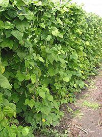 Snijboonplanten Phaseolus vulgaris.jpg
