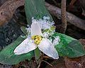 Snow trillium (Trillium nivale) (25756190843).jpg