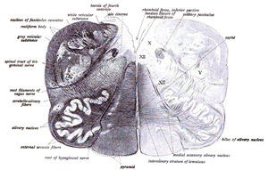 Accessory cuneate nucleus - Image: Sobo 1909 665