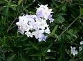 Solanum jasminoides2.jpg