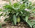 Solanum muricatum Flower and Fruit.jpg