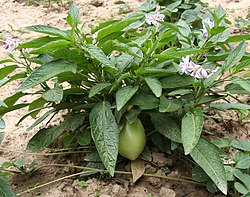 Solanum muricatum Flower and Fruit.jpg