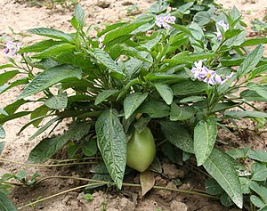 Solanum muricatum - Plant with flowers and ripening fruit