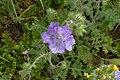 Sonoran Desert Late Winter 2013, Phacelia crenulata – Cleftleaf Wildheliotrope - panoramio.jpg