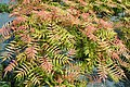 Sorbaria sorbifolia 'Sem' kz02.jpg
