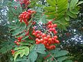Sorbus aucuparia 1 - wetland.jpg