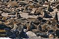 South African Fur Seals (Arctocephalus pusillus) (32770921421).jpg