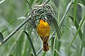 Southern brown-throated weaver (Ploceus xanthopterus castaneigula) male building nest.jpg
