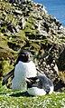 Southern rockhopper penguin (51051122923).jpg