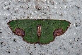 Spaniocentra hollowayi (Geometridae Geometrinae).jpg