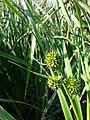 Sparganium erectum subsp. neglectum sl4.jpg