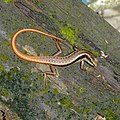 Sphenomorphus dussumieri, Dussumier's Litter Skink.jpg