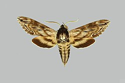 Sphinx poecila, male, upperside. Canada, Sable Island, Met. Station.jpg