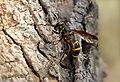 Sphiximoprha subsessilis, Parc de Woluwé, Brussels (27158533791).jpg