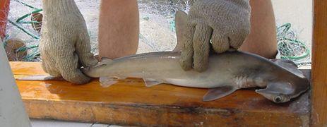 cría de  tiburón martillo común  joven