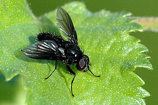 <i>Spilogona</i> genus of insects