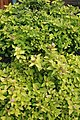 Spiraea japonica Lemon Princess 3zz.jpg